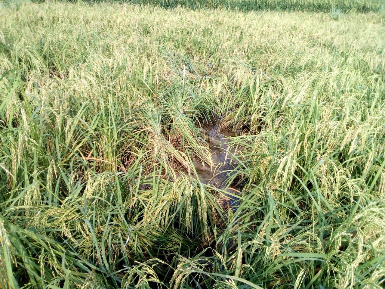 Banyak Tanaman Padi Ambruk Para Petani di Balun Cepu Mengeluh
